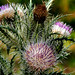 Purple Thistle Cirsium horridulum