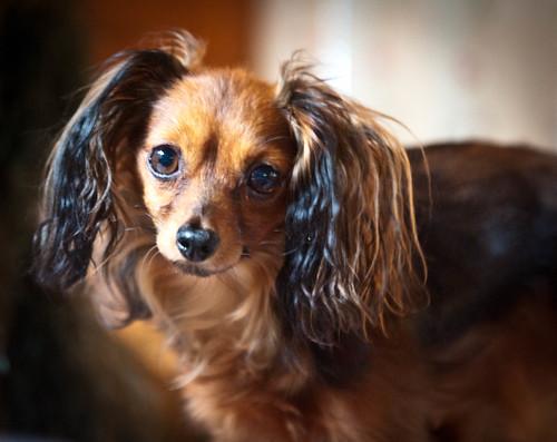 [フリー画像] 動物, 哺乳類, イヌ科, 犬・イヌ, ロシアントイテリア, 201004241100