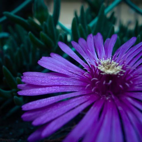 Low Lying Purple Sunshine