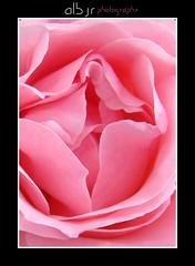 La Suavidad de una Rosa , (The Softness of a Rose) (Alberto Jiménez Rey) Tags: flower color colour macro textura up rose pattern perfume close sony flor softness rosa cybershot alberto manuel rey aroma tistheseason recorte dulzura jimenez olor suavidad dsct200 albjr albjr7