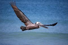 DSC_5368 (reitgassl) Tags: beach strand golf gulf florida von pelican pelikan mexiko siestakey