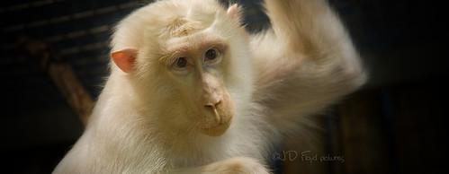white monkey800x300