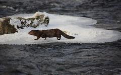 Walking. American mink (Neovison vison) (IngridFoto) Tags: american mink neovison vison