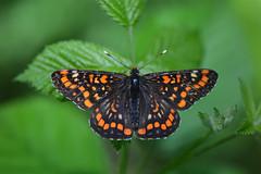 D71_0513A (vkalivoda) Tags: motýl butterfly schmetterling insect macro depthoffield bokeh serene makro hnědásek hnědásekosikový euphydryasmaturna hnedáčikosikový scarcefritillary kleinermaivogel askepletvinge suurmosaiikliblikas damierdufrene malasvibanjskariđa baltamargešaškyte díszestarkalepke praktrutevinge przeplatkamaturna gozdnipostavnež maturna kirjoverkkoperhonen asknätfjäril