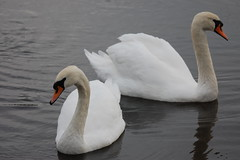 We want to be together (dave millers photos) Tags: birds swans british mute