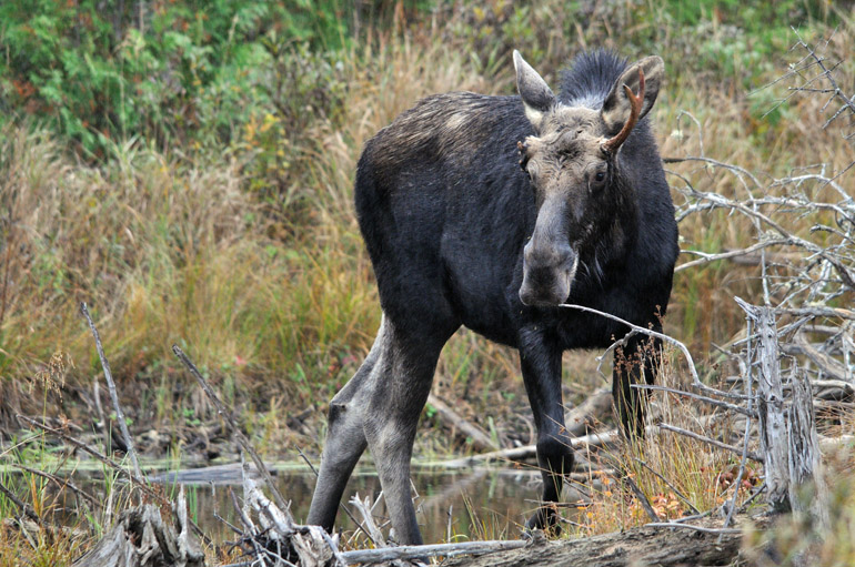 moose_horizontal_0089