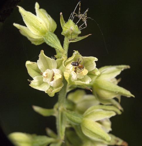 Orchidées et... sauterelles 4072805431_845e8a61c5