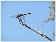 i am small (DigitalLyte) Tags: music dragonfly sia odonata roseateskimmer orthemisferruginea breatheme lumixdmcfz18