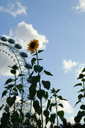 South Bank Sunflowers