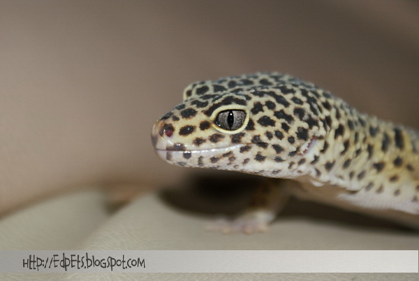 03_Leopard gecko 2009