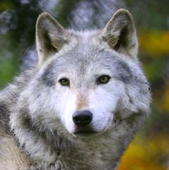 Grey Wolf (Gary Wilson แกรี่ วิลสัน) Tags: ireland dublin nature animal canon photography eos grey zoo photo wolf foto wildlife gray canine lupus greywolf dublinzoo 100400l 50d garywilson platinumheartaward