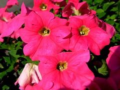 SOLANACEAE  - Pink Petunia (Petunia x hybrida)  (kaiyanwong223) Tags: solanaceae petuniahybrida  pinkpetunia  tsingyimtrstation Taxonomy:binomial=petuniaxhybrida