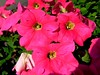 SOLANACEAE 茄科 - Pink Petunia (Petunia x hybrida) 矮牽牛 (kaiyanwong223) Tags: solanaceae petuniahybrida 矮牽牛 pinkpetunia 茄科 tsingyimtrstation Taxonomy:binomial=petuniaxhybrida