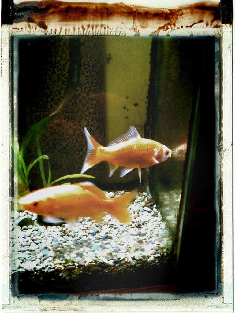Goldfish existential