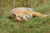 ADS_000006640 (dickysingh) Tags: wild india cat outdoor wildlife tiger bigcat aditya effect ranthambore singh ranthambhore dicky zoomburst zoomout adityasingh ranthamborebagh theranthambhorebagh wwwranthambhorecom