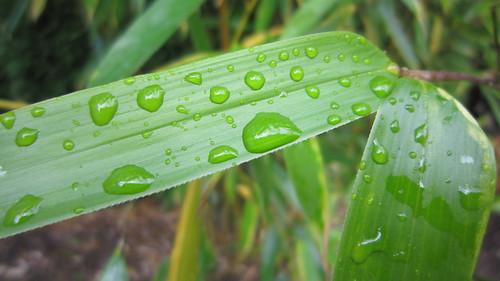 Raindrops on bamboo leaf