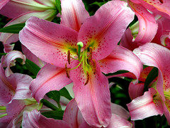 Lily (steve torfaen) Tags: flower garden lily steve clematis