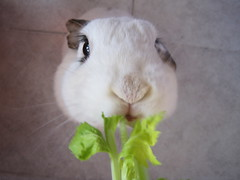 Chomp chomp (*the alla menta*) Tags: snowflake macro cute rabbit bunny vegetables closeup nose eating conejo adorable ears eat milka naso muso coniglio verdura ceddar lopears sedano orecchie ariete