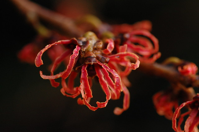Bright red blossom on the winter flowering Hamamelis x intermedia