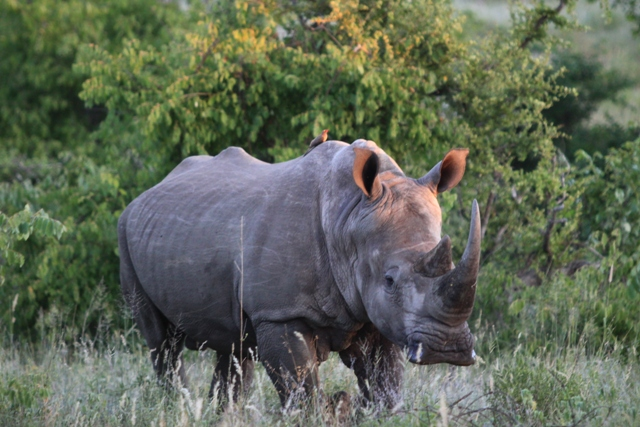 White Rhinoceros - South Africa - Kruger National Park