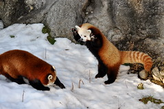 Red Panda Fight! (Alexander Yates) Tags: travel red usa cute nature animal ilovenature zoo fight panda play cny redpanda syracuse northamerica writer centralnewyork novelist naturesfinest rosamondgiffordzoo travelwriter alexanderyates