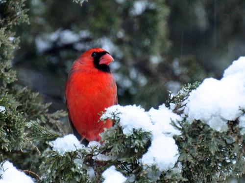 cardinal snowstorm
