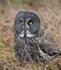 On the Ground (Wes Aslin) Tags: canada bird hunting raptor greatgrayowl avian strixnebulosa tc14eii nikkor300mmf4afs
