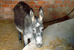 Burro (Cyberian8) Tags: animal andalucia sierra animaux diere malaga  tier  djur  hayvan desanimaux  hewan haiwan  ivotinja  gibralgalia sierradegibralgalia