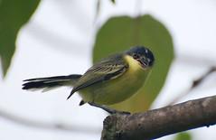 Ferreirinho-relgio  (Todirostrum cinereum) (adilsonkarafa) Tags: greenbeautyforlife