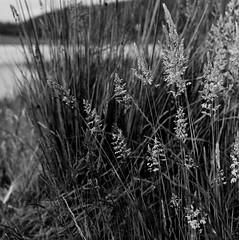 Grasses and sedges, Southern Tasmania. (ndnbrunei) Tags: blackandwhite bw 120 6x6 tlr film grass rollei mediumformat square kodak australia bn tasmania mf xenar rolleicord classicblackwhite analoguephotography rolleigallery ndnbrunei tmy2 kodak400tmy2 50yearoldcamera ilovemyrolleicord