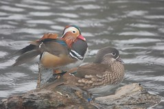 Mandrin duck and drake (dave millers photos) Tags: birds duck washington centre wetlands drake mandrin