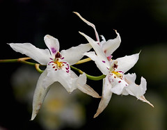 I Will Fly (JacquiTnature) Tags: flowers white plant orchid flower garden orchids pennsylvania olympus pa longwoodgardens tropicalflowers whiteorchid botony