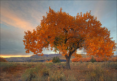 Golden (Dave Arnold Photo) Tags: ranch sunset sky usa cloud newmexico southwest west tree beautiful beauty america landscape photography us photo desert image scenic picture pic images american western getty sw nm zia acoma southwestus grants fourcorners lonetree southwestern swusa desertsouthwest southwesternus westernusa westernus davearnold newmex mccartys southwesternusa greatimage canonequipment impressedbeauty cibolacounty canonphotographer nmex northwestnewmexico westernamerica desertus davearnoldphotocom tripleniceshot scenicnm arnoldd