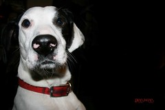 Mans Best Friend (fine art photography by TkSwayze) Tags: camera red dog white black pee canon lens mix friend hound pit best spots mans walker wee through collar tkswayze