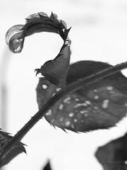 Drip.. Drip.. Drop (ndeniably  tin) Tags: bw white snow black nature water leaf waterdrop branch bokeh drop tone