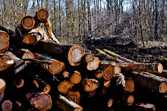 Wild Wood....Big Log... (Chris H#) Tags: trees cut northamptonshire logs wildwood s3000 logpile biglog robertplant paulweller sawn forestrycommission selseyforest nikond5000