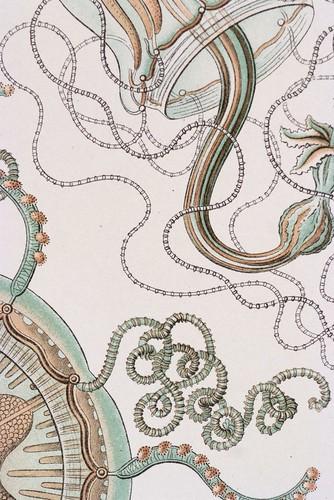 //Trachomedusae (detail),// Ernst Haeckel, Kunstformen der Natur. Chromolithograph 32 x 40 cm, Verlag des Bibliographischen Instituts, Leipzig 1899-1904. Photograph by D Dunlop.