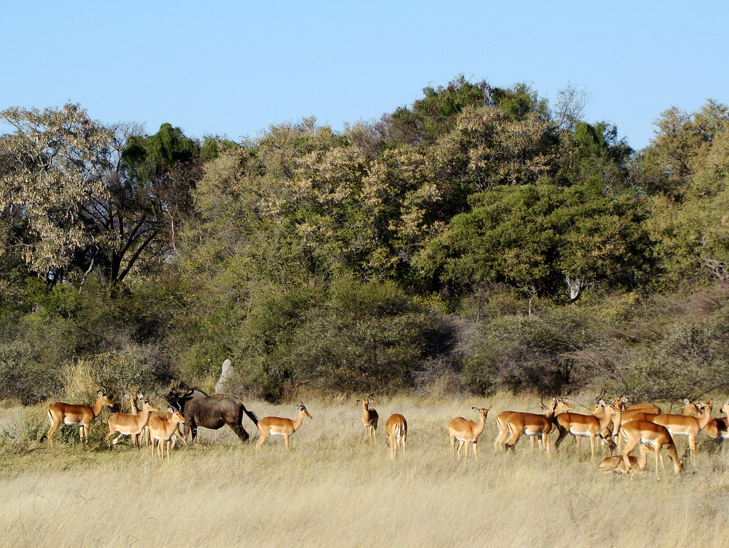 DSC07611 impala and wildebeest