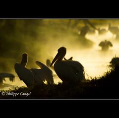 Pelicans in the mist - Nakuru National Park - Kenya (Lucie et Philippe) Tags: voyage africa travel lake bird birds nationalpark kenya wildlife lac safari oiseau nakuru oiseaux afrique riftvalley plican mygearandmepremium mygearandmebronze mygearandmesilver mygearandmegold