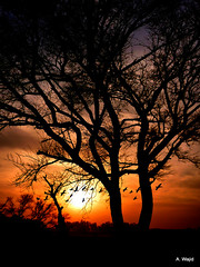 Marala Sunset (Photo Pas'ion) Tags: pakistan sunset tree birds evening panasonic punjab abdul sialkot marala wajid photopassion chanab headmarala awajid abdulwajid