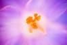 Crocus Heuffelianus (Sergiu Bacioiu) Tags: flowers plant flower color detail macro nature floral beautiful yellow closeup garden season botanical petals spring flora colorful glow perfume purple natural blossom outdoor small seasonal fine grow meadow magenta crocus fresh pistil petal harmony bloom botanic growing pollen february delicate botany springtime blooming primrose crocusheuffelianus