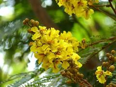 Yellow Flame Tree, Copper Pod (P S M) Tags: flower macro yellow lumix pod panasonic copper peltophorum pterocarpum copperpod yellowflamboyant yellowflametree yellowpoinciana radhachura goldenflamboyant fz35