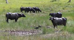 Water Buffalos (Wild Chroma) Tags: brazil bubalus bubalusbubalis bubalis