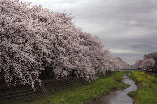 野川の桜並木 HDR 2