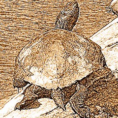 red slider turtle in sepia tint
