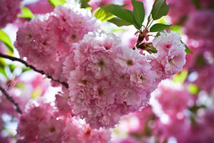 pink puffs ({klb♥photography}) Tags: life nature beauty outside spring bokeh pastel blossoms naturallight blooms lovely cherrytree floweringtree pinkpuffs