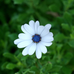 BluedropFlower