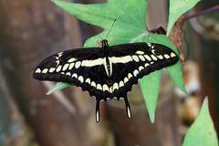 baudchon-baluchon-mindo-papillons-16