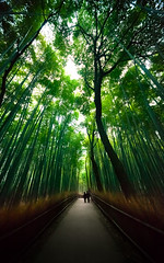 Sagano bamboo forest : Arashiyama, Kyoto, Japan / Japn (Lost in Japan, by Miguel Michn) Tags: travel naturaleza verde green nature japan landscape kyoto paisaje bamboo arashiyama   kioto bamb sagano viajar japn  bamboogroves