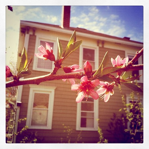 peach blossoms in the garden